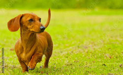 Miniature dachshund buy photos ap images detailview for Dog day sitting