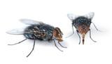 Two houseflies on white - 171050458