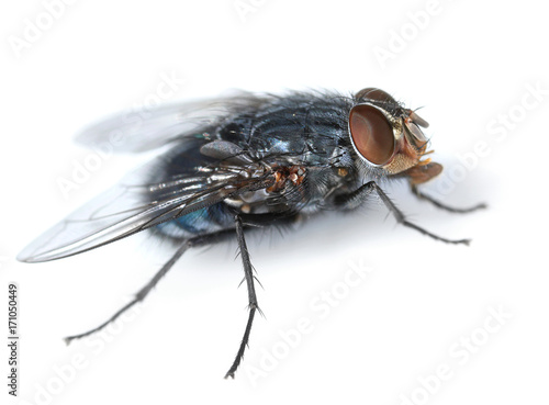 Housefly on white side view