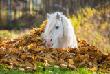 Little pony lying in a pile of leaves in autumn