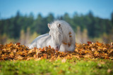 Little pony lying in leaves in autumn