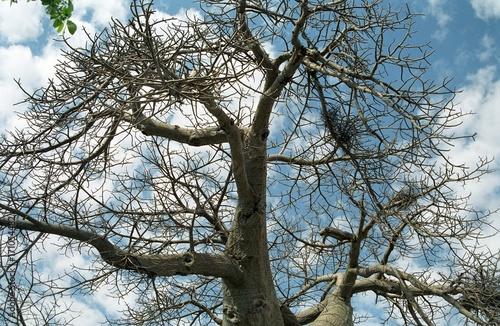 Fotobehang Baobab Baobab, Botswana