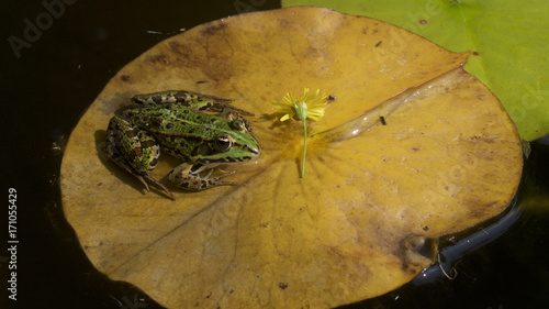 Fotobehang Kikker Common spotted frog resting on yellow lily pad.