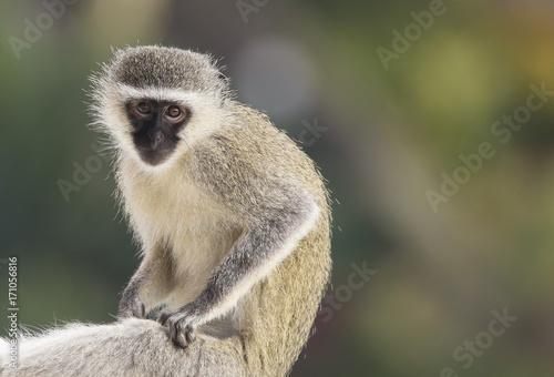 Aluminium Aap vervet monkey