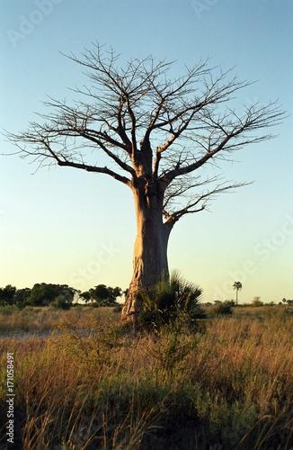 Foto op Aluminium Baobab Baobab, Okavango Delta, Botswana