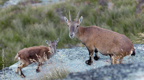 Fotobehang Hert Young Alpine ibex and mother