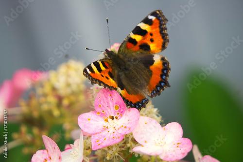 Fotobehang Vlinder Бабочка сидит на цветке гортензии.