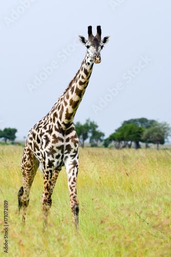 Giraffe Walk Poster