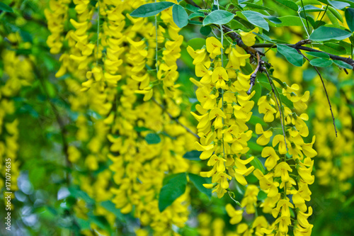 Golden rain tree cassia fistula laburnum flower yellow spring Poster