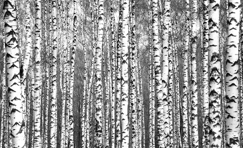 Fotobehang Berkenbos Spring trunks of birch trees black and white