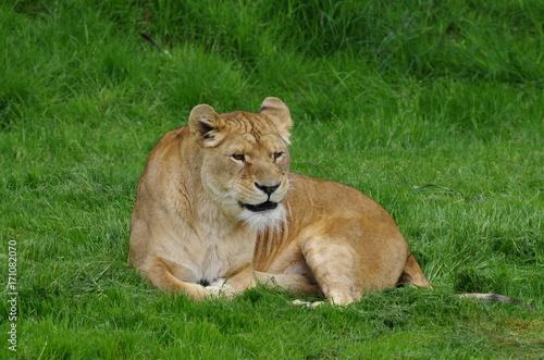 Fotobehang Lion Lionne assise dans l'herbe