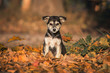Adorable little puppy sitting in leaves in autumn