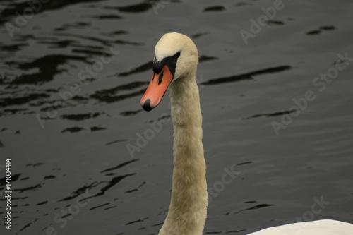 Fotobehang Zwaan white swan on a pond