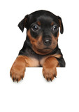 Miniature Pinscher puppy above banner