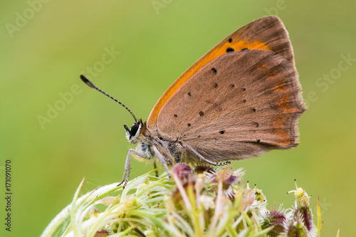 Aluminium Vlinder Small copper butterfly (Lycaena phlaeas) at rest in profile. Small butterfly in the family Lycaenidae, with underside of wings visible