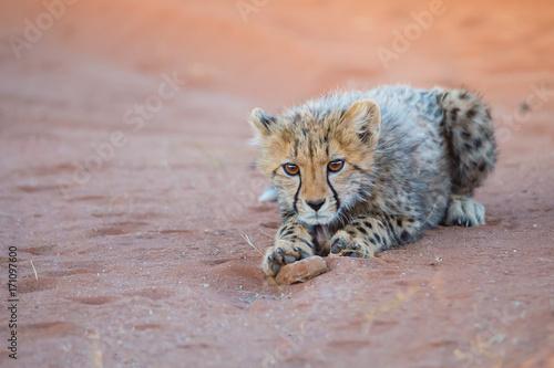 Aluminium Wolf Cheetah Cub