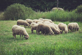 closeup of small sheep flock grazing on meadow - 171100238