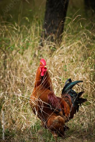 Foto op Plexiglas Gras domestic rooster in grass on rural farm