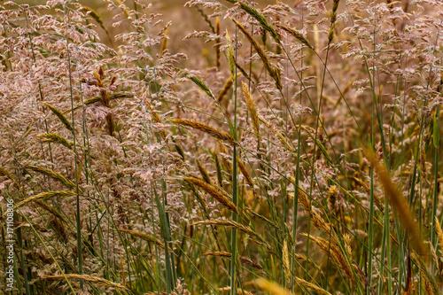 Foto op Plexiglas Gras Closeup of infloresences of grass flowers: Holcus lanatus (velvet grass, yorkshire fogg, tufted, or meadow soft grass) and Anthoxanthum odoratum (sweet vernal grass, holy, or buffalo grass).