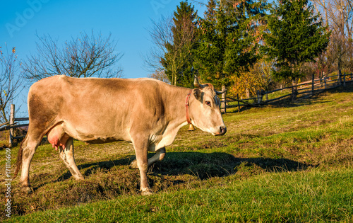 Papiers peints Automne cow paths pasture on hillside near forest. lovely everyday episode of rural life