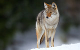 wolf - 171119821