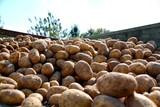 Kartoffelernte - Kartoffeln