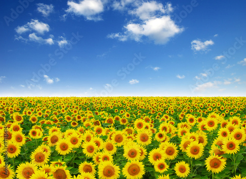 Foto op Canvas Klaprozen field of blooming sunflowers