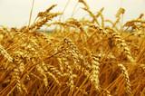 ears of wheat - 171136015