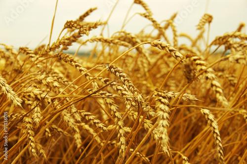 Papiers peints Herbe ears of wheat