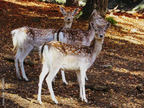 Fotobehang Hert Gamos en el bosque
