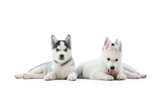 Shot of a three little Siberian husky puppies lying isolated on white copyspace.
