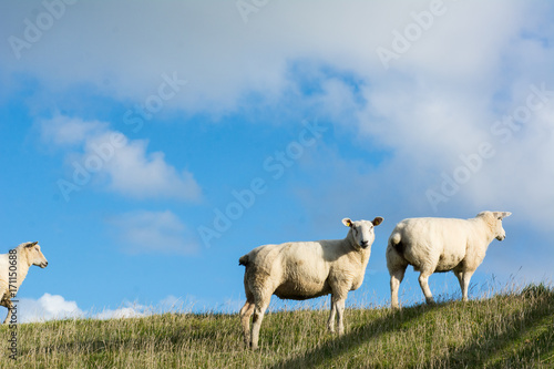 Papiers peints La Mer du Nord Schafe auf Deich