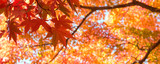 Autumn Japanese maple tree background with copyspace - 171155680