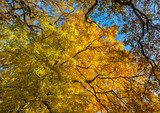 Orange and yellow trees in the forest in autumn. - 171160016