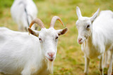a herd of white goats graze on nature - 171164460