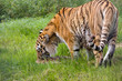 Amur tiger profile