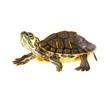 Turtle on parade