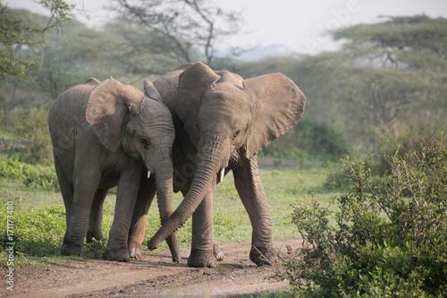 Afrikanischer Elefanten (Loxodonta africana),  im Ngorongoro Nationalpark, Tansa Poster