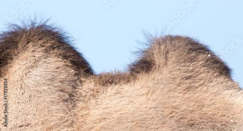 Fotobehang Kameel two humps of a camel