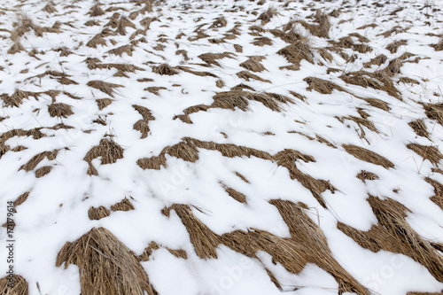 Foto op Plexiglas Gras dry grass in the snow on the nature