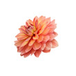 single flower orange dahlia isolated