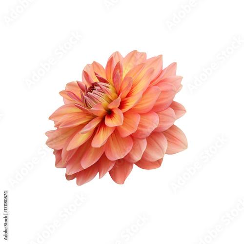 single flower orange dahlia isolated
