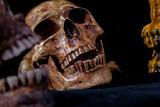 Two skull in black background.