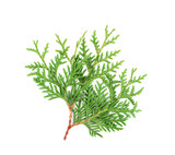 Sprout of thuja or arborvitae isolated on white background.