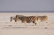 Steppen Zebras wandern durch Salz Pfanne, Burchell's Zebra, Etosha Nationalpark, Namibia, (Equus burchelli)
