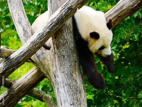 Panda Géant Poster