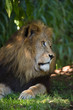 Beautiful lion day dreaming