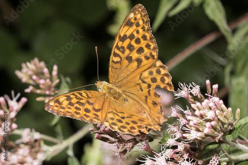 Fotobehang Vlinder Argynnis