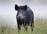 Wild boar in fog - 171205682