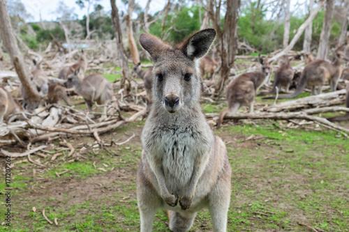 Aluminium Kangoeroe Little kangaroo stand among their family in wildlife park